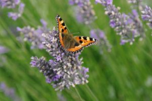 butterfly-on-lavender